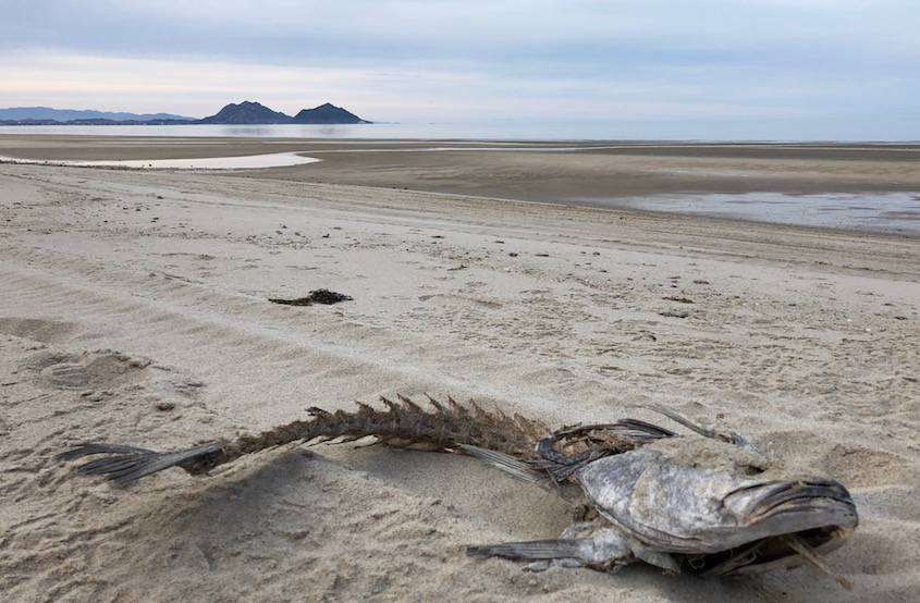 The Totoaba Cartels Amp The Extinction Of The Vaquita